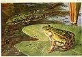 Die Reptilien und Amphibien mitteleuropas (1912) (20949911541).jpg