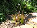 Dierama nixonianum (Hilliard) 0499.jpg