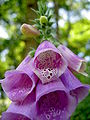 Digitalis-stora hultrum.sweden-26.jpg
