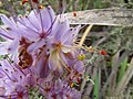 Dilatris ixioides Lam. IMG 7387.jpg