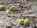Dillenia indica, Elephant Apple.jpg