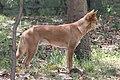 Dingo (3208795131).jpg