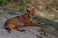 Dingo (Canis lupus dingo) (9952702134).jpg