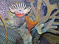 Diorama of a Devonian seafloor - corals, fenestrate bryozoan, trilobite 1 (44741819835).jpg