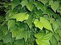 Dioscorea caucasica 2016-05-31 1877.jpg