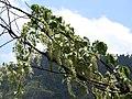 Dioscorea tomentosa-3-muluvi-yercaud-salem-India.jpg