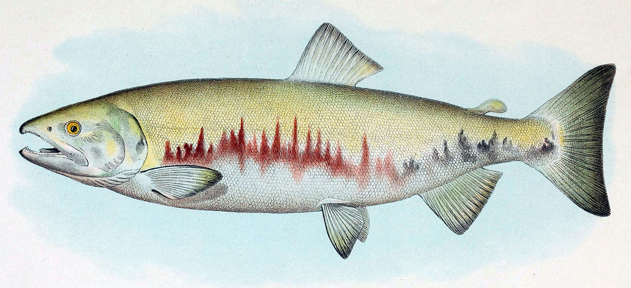 Salmon Dog In Sarnia Ontario