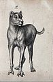 Dog with deformed claws. Lithograph. Wellcome V0022905ER.jpg