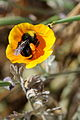 Donjd2 - Bee on yellow flower gathering pollen by Almaden Lake (by-sa).jpg