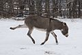 Donkey kicking in the snow.jpg