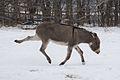 Donkey kicking in the snow.jpg