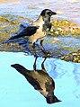 Double Crow (15633007908).jpg