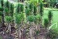Dracaena deremensis 4zz.jpg