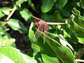 Dragon fly on island Volta Lake.JPG