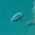 Drepanomonas sp. - 400x (10606796495).jpg