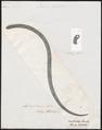 Dromicus bilineatus - 1700-1880 - Print - Iconographia Zoologica - Special Collections University of Amsterdam - UBA01 IZ12100153.tif