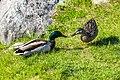 Duck (27479047527).jpg