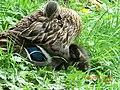 Duck sheltering her Ducklings in Dublin - panoramio.jpg