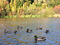 Ducks in mapleton park 453.jpg