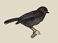 Dusky Tit specimen RWD.jpg