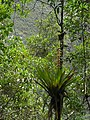 Dykia sp. - Flickr - pellaea.jpg