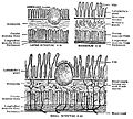EB1911 Alimentary Canal Fig. 2.—Structure of small and large intestine and duodenum.jpg