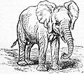 EB1911 Elephant - Fig. 2 Immature African Elephant.jpg