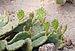 Eastern Prickly Pear - Opuntia compressa.jpg