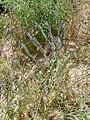 Echium plantagineum Habitus 2010-6-06 DehesaBoyaldePuertollano.jpg