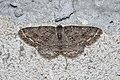 Ectropis crepuscularia Bytom.jpg