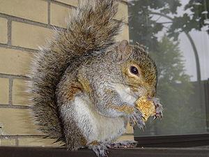 Écureuil d'Amérique