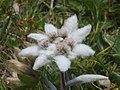 Edelweiss 20020721.jpg