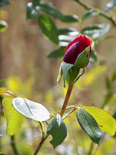 Eilenburg Rose.jpg