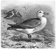 Eissturmvogel-drawing.jpg