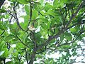Elaeocarpus sp. (15662345744).jpg