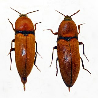 <i>Elater ferrugineus</i> species of insect