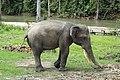 Elephant Sumatra ProfilD.jpg