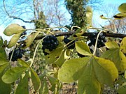 Eleutherococcus gracilistylus BotGardBln1105 LeavesFallFruits