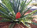 Encephalartos ferox - female cone.jpg