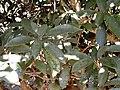 Englerophytum natalense, KwaZulu-Natal NBT, PMB.jpg