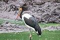 Ephippiorhynchus senegalensis (45974733901).jpg