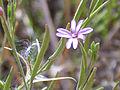 Epilobium tetragonum subsp. tetragonum Enfoque 2010-9-29 DehesaBoyaldePuertollano.jpg