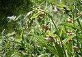 Epipactis gigantea stream orchid plants.jpg