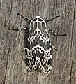 Erebid moth (Hypercompe laeta).jpg