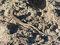 Eremias velox, Baikonur 01.jpg