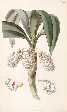 Eria spicata (as Eria convallarioides ) - Edwards vol 33 (NS 10) pl 63 (1847).jpg