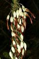 Erica plukenetii 1DS-II 1-C4738.png