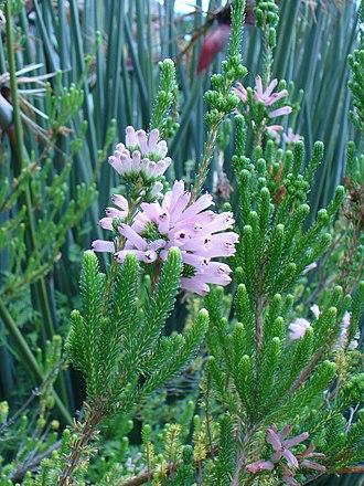 Erica verticillata - Image: Erica verticillata plant detail