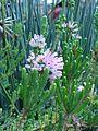 Erica verticillata plant detail.JPG