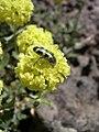 Eriogonum sphaerocephalum var. sphaerocephalum closeup-6-08-04.jpg